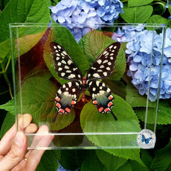 framed Madagascan Giant Swallowtail butterfly