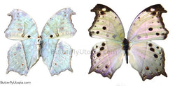 Mother of Pearl Butterfly - unspread (wings closed)