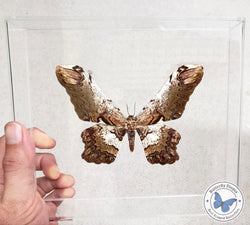 framed Serpent Moth