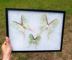 tailed silkmoths