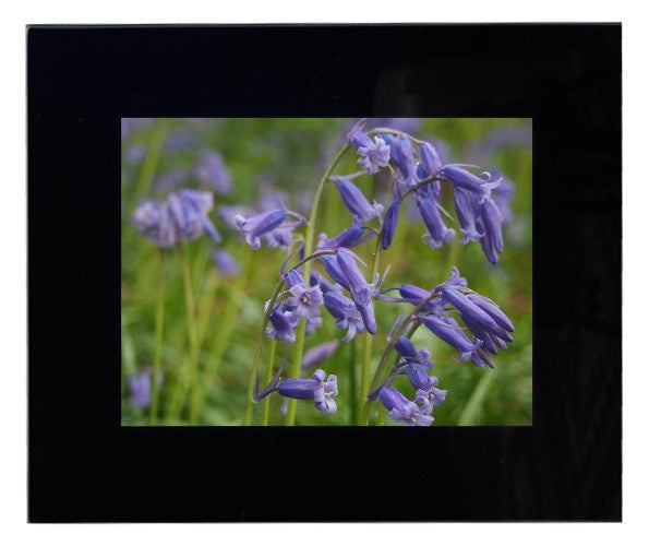 Framed Bluebells Photograph