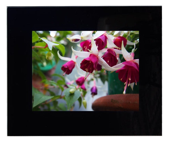 Framed Fuchsia Photograph