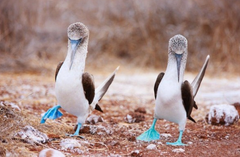 Blue footed boobies make yoyu smile