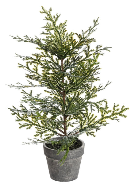 Cedar Tree in Pot - 12.5""
