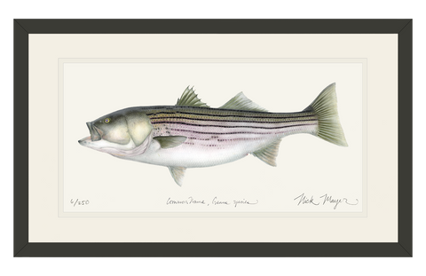 Striped Bass, 30 lbs. Print