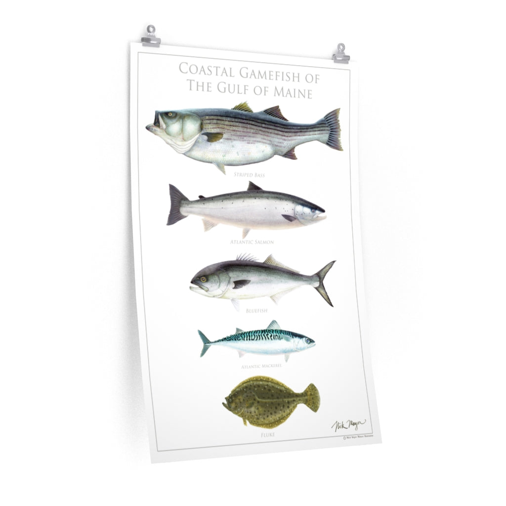 Coastal Gamefish of the Gulf of Maine Poster