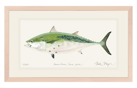 False Albacore IV Original Watercolor Painting