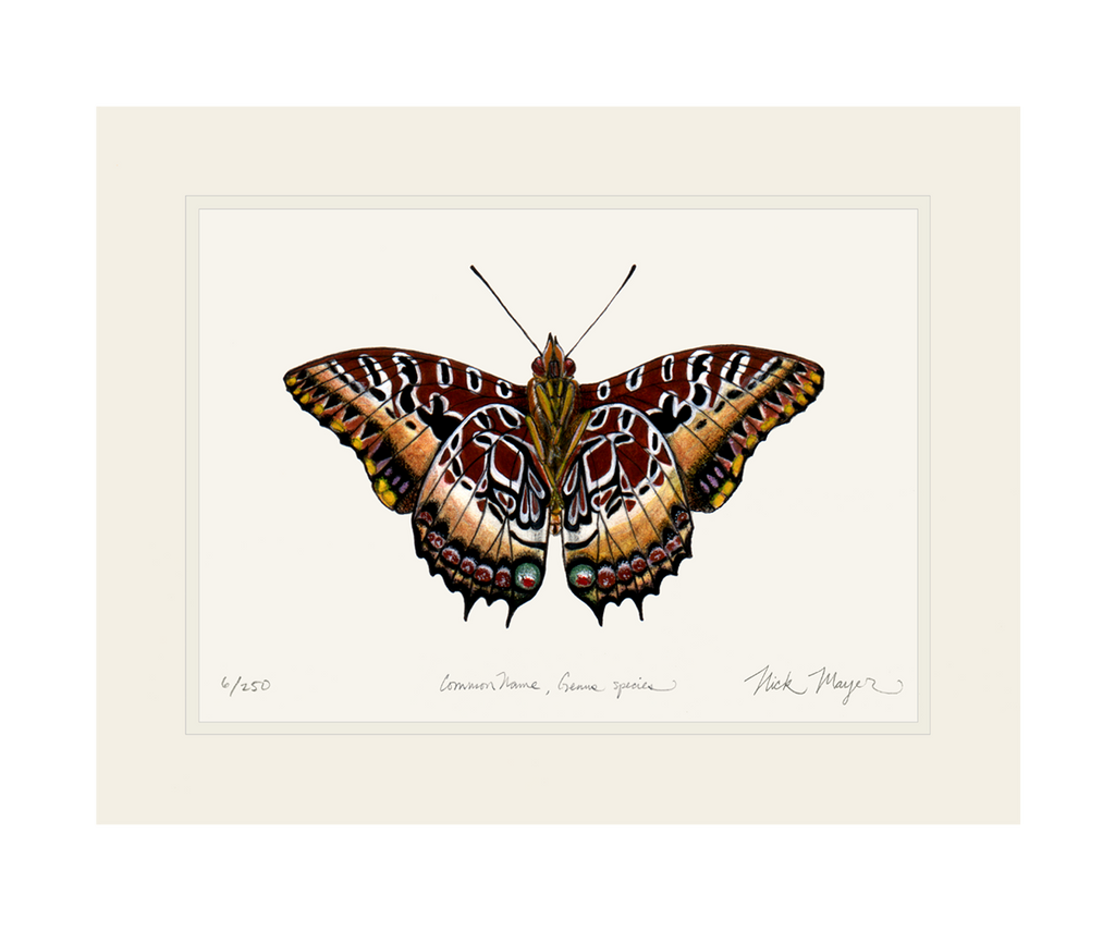 Black Bordered Charaxes