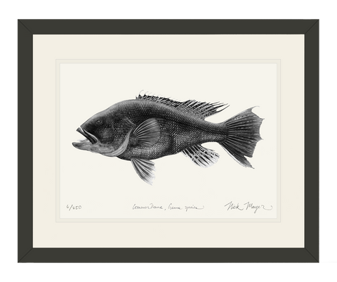 Black Sea Bass, (b&w)