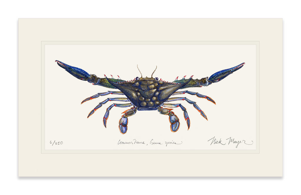 Blue Crab, Claws Out