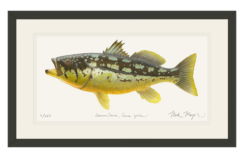 Calico Bass II