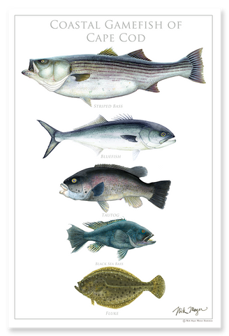 Coastal Gamefish of Cape Cod