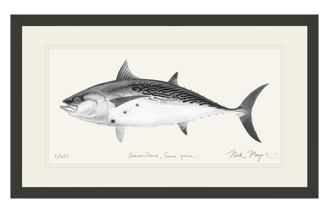 False Albacore, (b&w)