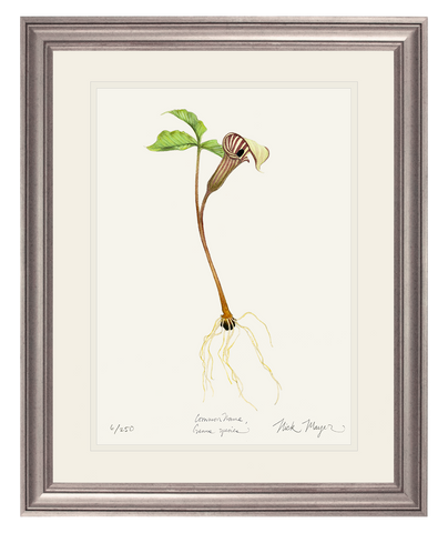 Jack in the Pulpit Wildflower Original Watercolor Painting