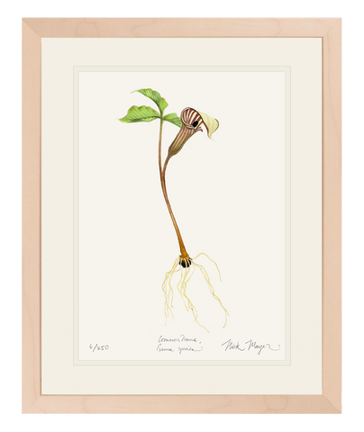 Jack in the Pulpit Wildflower Print
