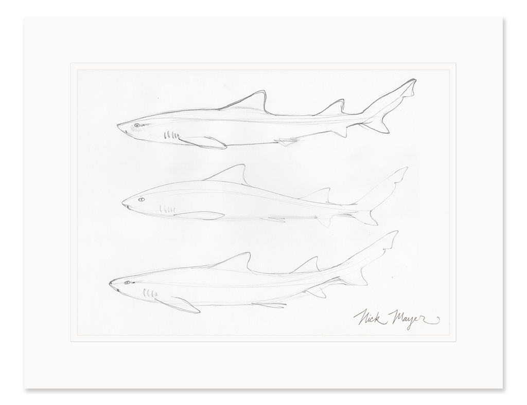 Leopard Shark Study Original Pencil Sketch