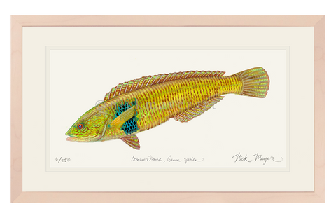 Male Rock Wrasse