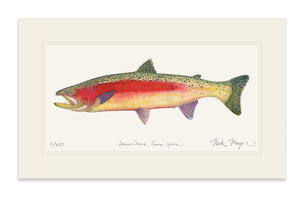 New Zealand Rainbow Trout Print