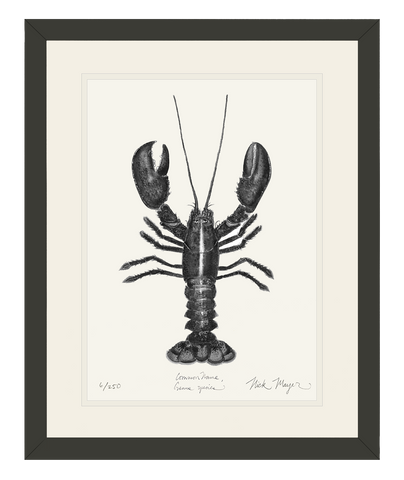 Northern Lobster, (b&w)