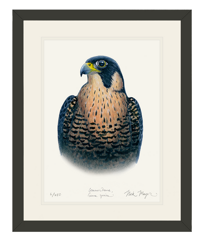 Peregrine Falcon Original Watercolor Painting