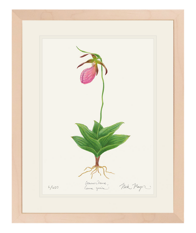 Pink Lady's Slipper Wildflower Original Watercolor Painting