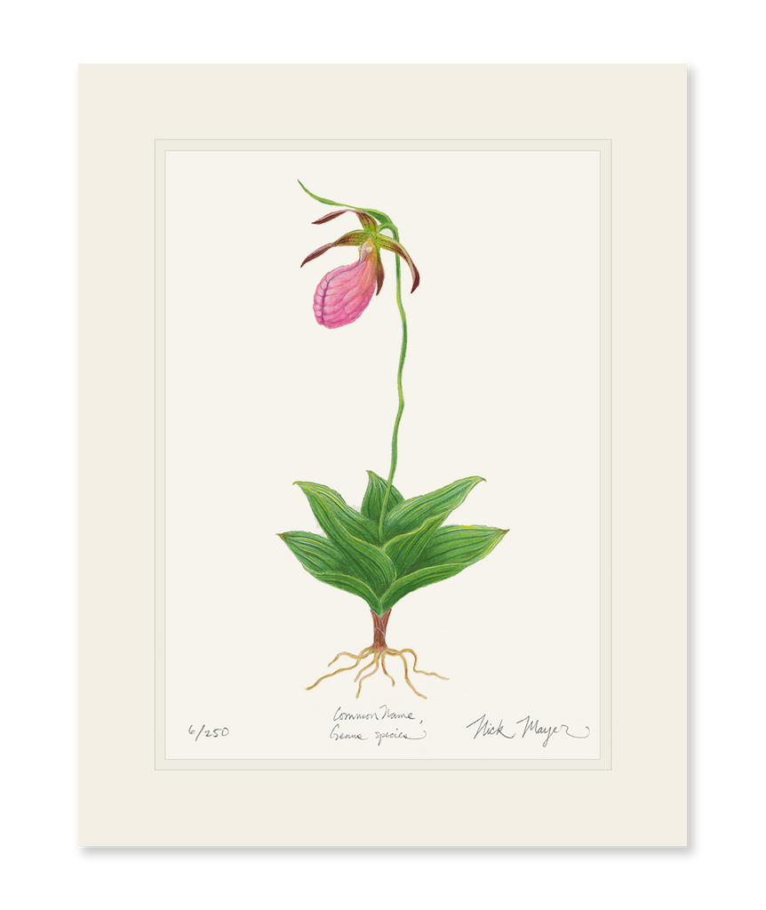 Pink Lady's Slipper Wildflower Print