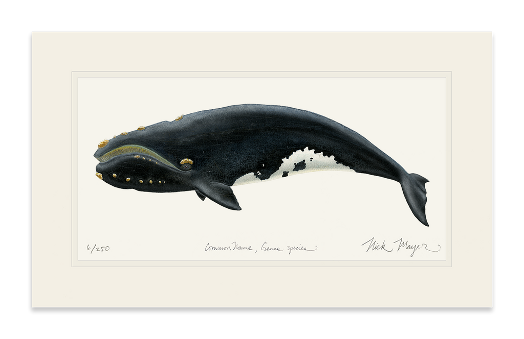 Right Whale Print