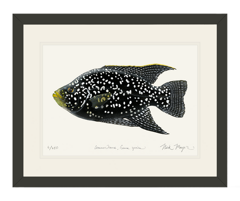 Starry_Night_Cichlid_1