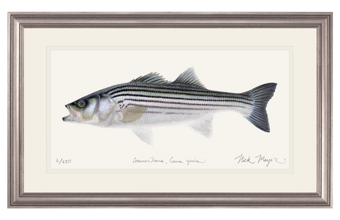 Schoolie Striped Bass Original Watercolor Painting