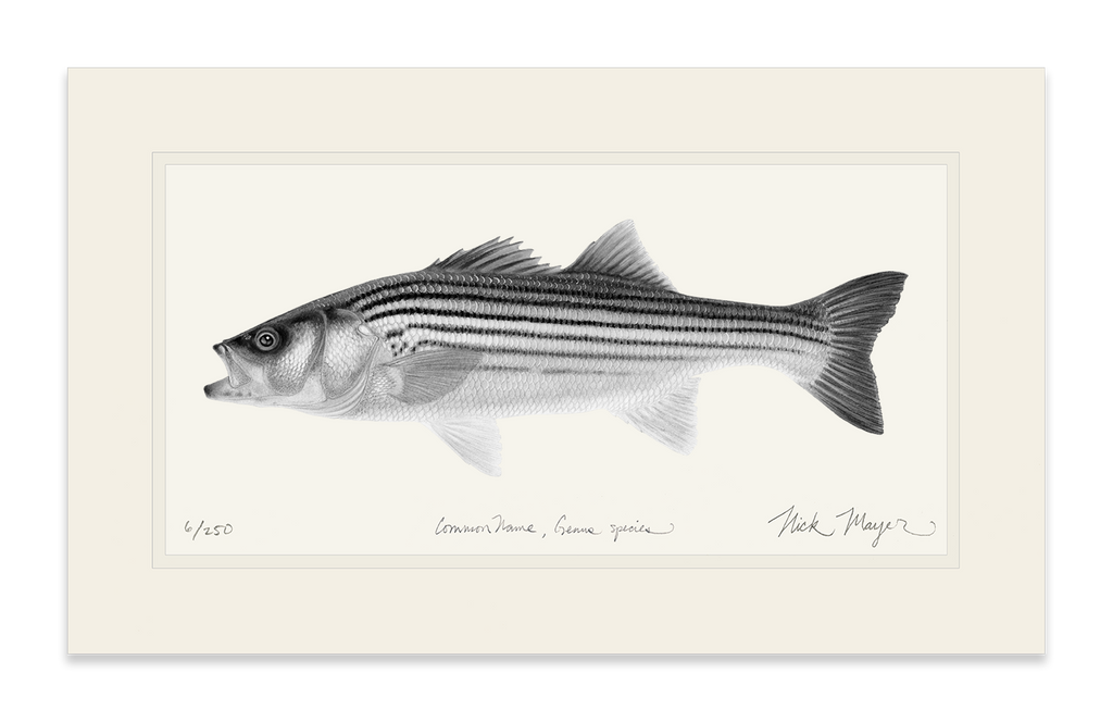 Striped Bass, Juvenile (b&w)