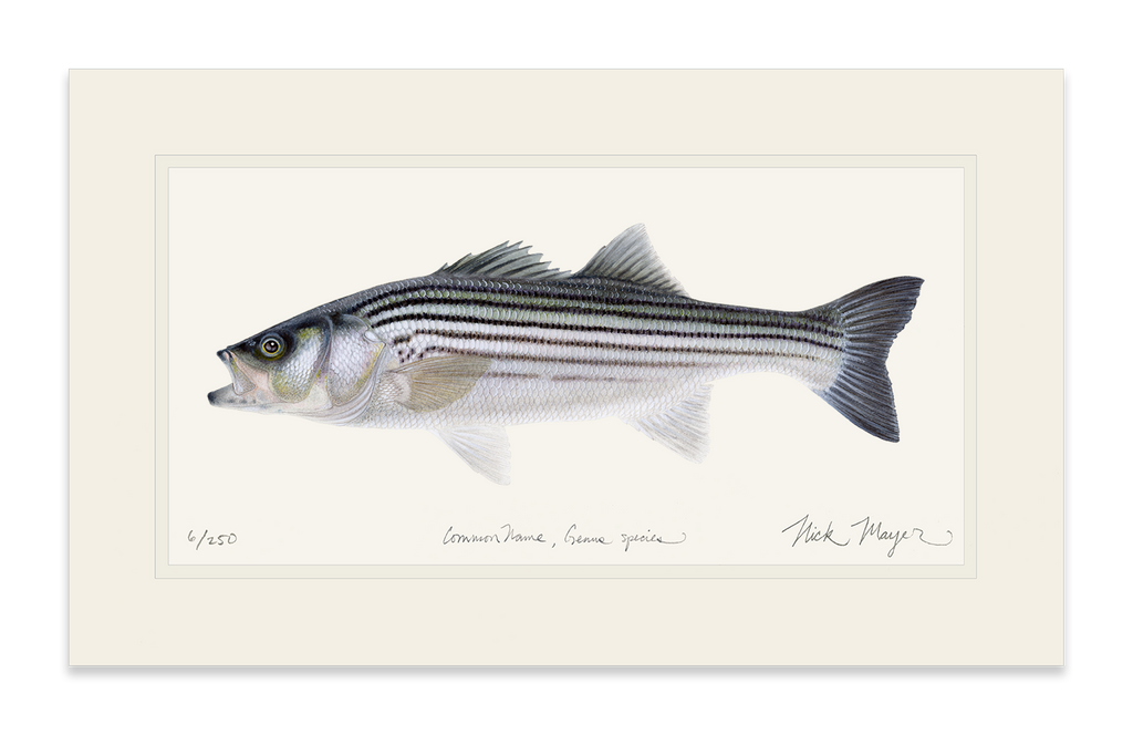 Striped Bass, Juvenile