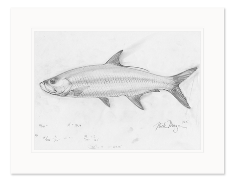 Tarpon Study Original Pencil Sketch