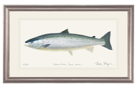 Wild Atlantic Salmon Original Watercolor Painting