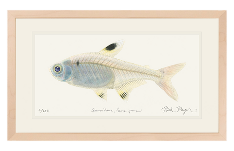X-ray Fish Original Watercolor Painting