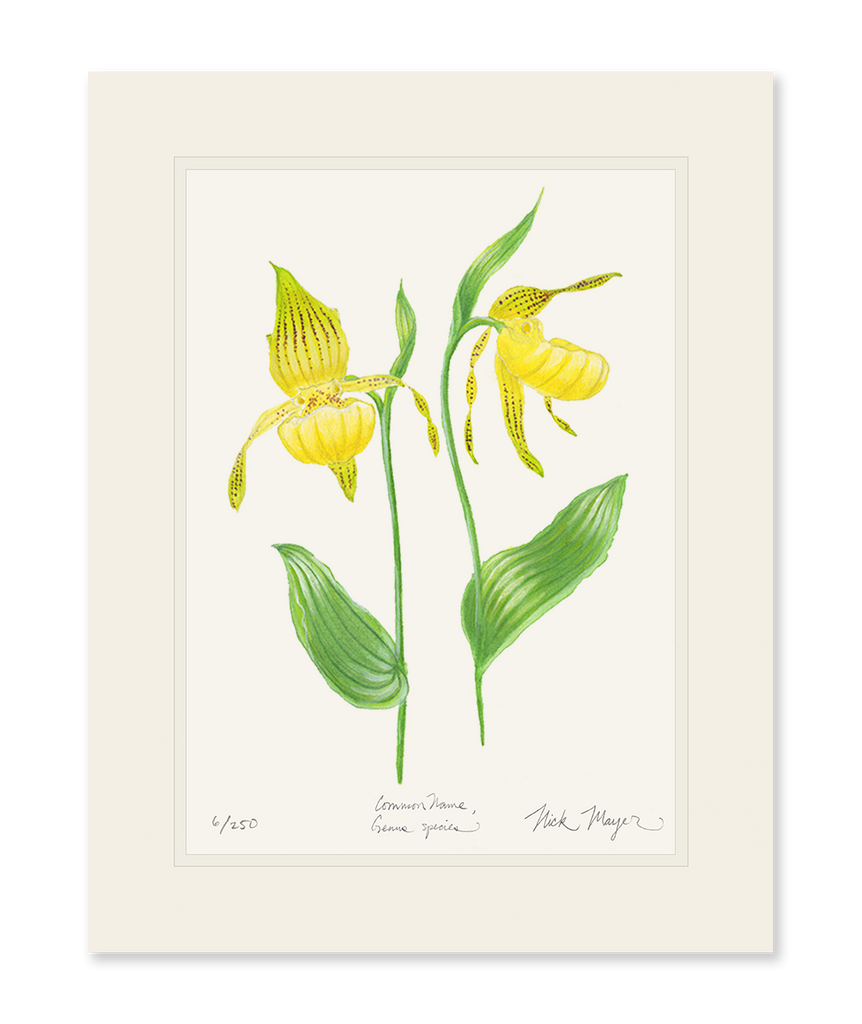 Yellow Lady's Slipper Wildflower Print