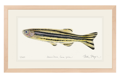 Zebrafish Original Watercolor Painting