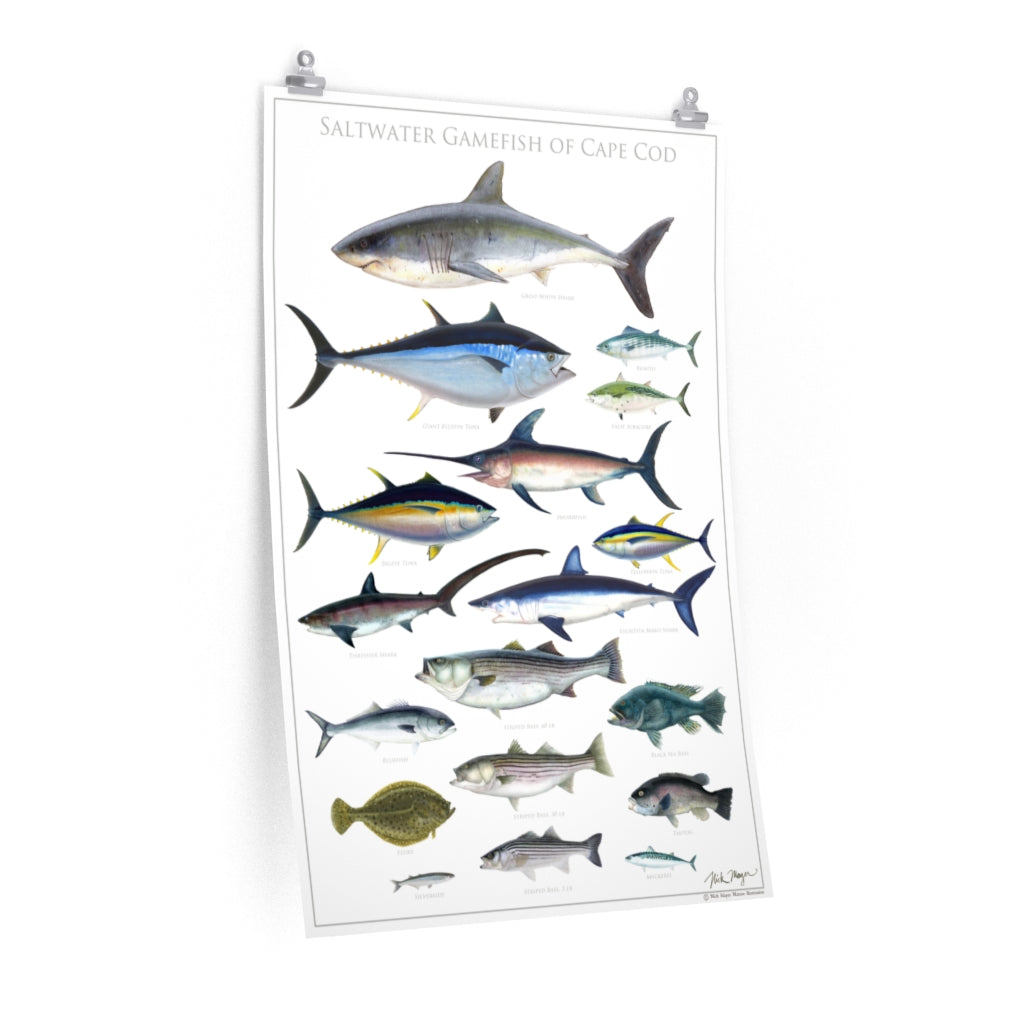 Saltwater Gamefish of Cape Cod Poster