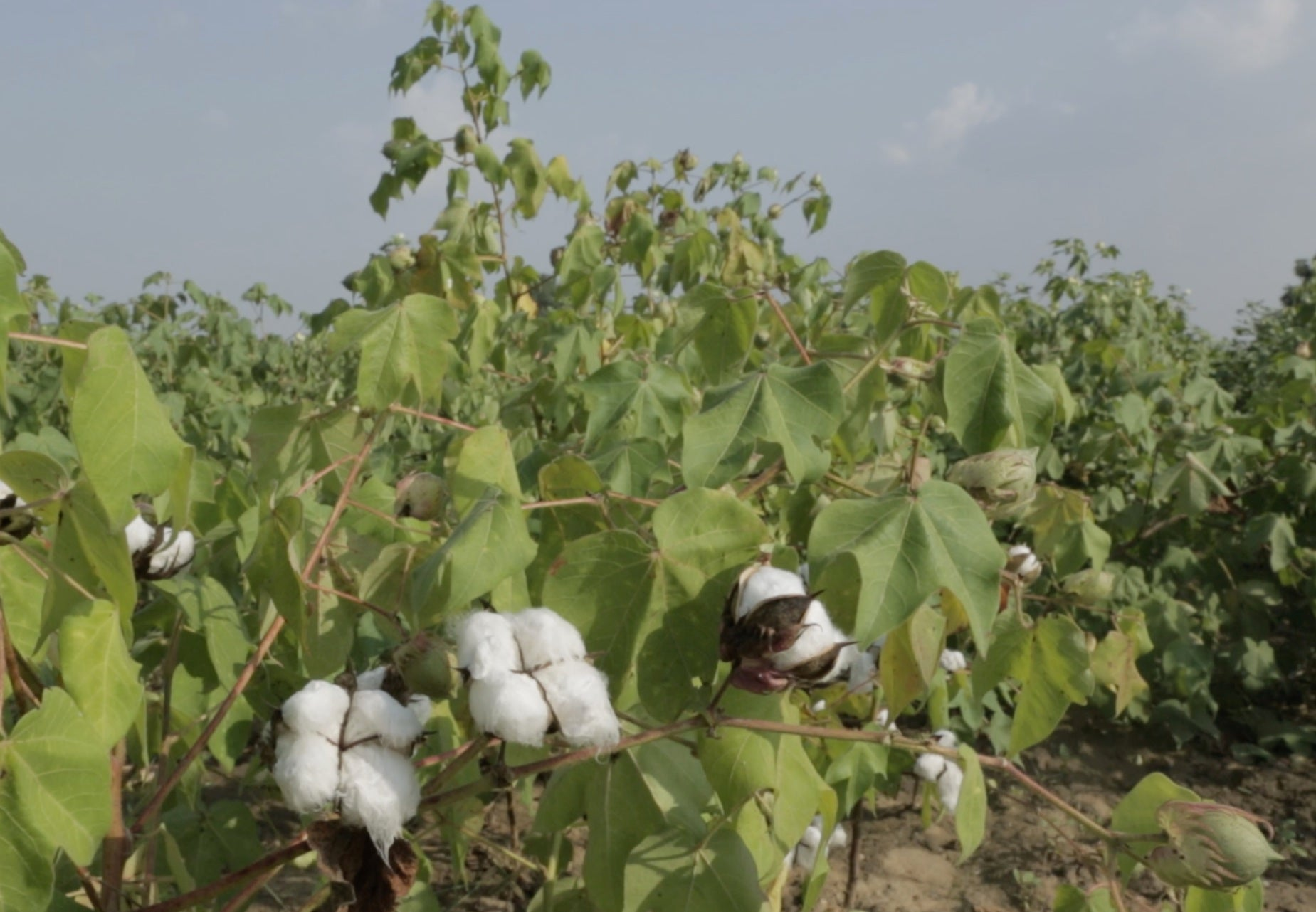 Cotton Fields near Samrathpura (Photo credit: Adrien Roche for Bloom & Give)
