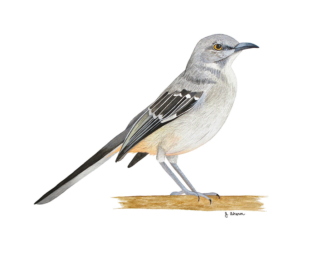 Northern Mockingbird watercolor print