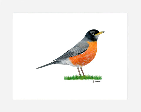 American Robin Watercolor Print