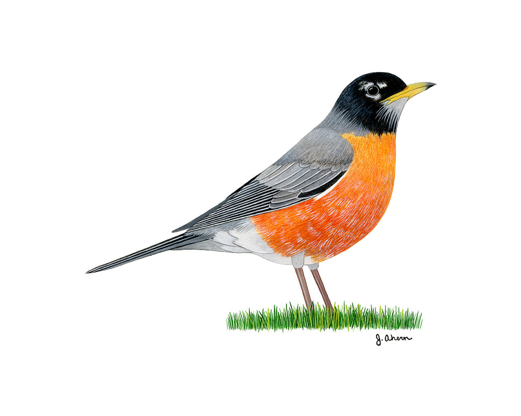 American Robin Painting