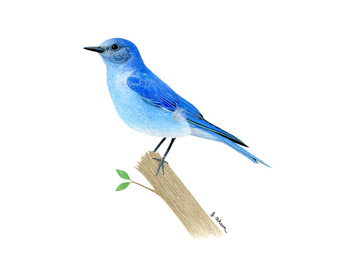 Mountain Bluebird Watercolor