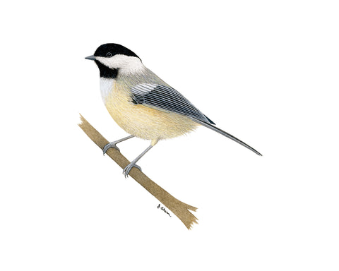 Black-Capped Chickadee original watercolor painting