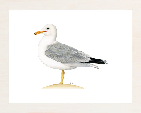 California Gull original watercolor painting