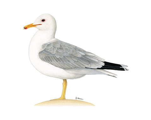 California Gull watercolor painting