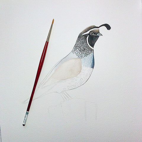 California Quail watercolor bird painting in progress