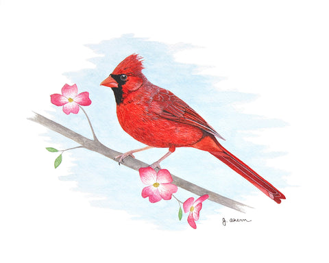 Cardinal on Dogwood Branch Print