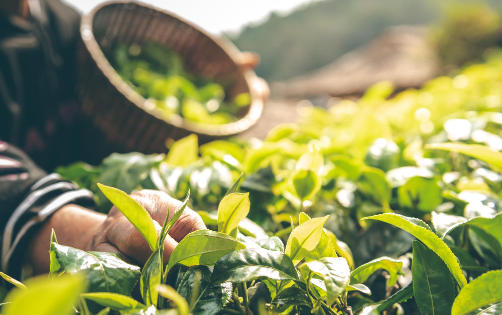 Sustainabili-Tea: Using Tea To Change How We See The World