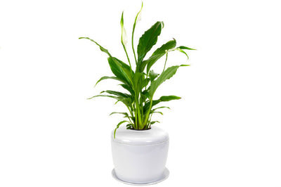 What are Popular Plants Grown With The Living Urn Indoors