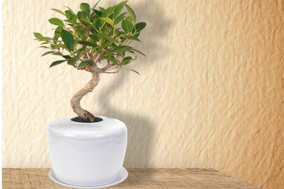 2020 Comprehensive Guide to Bonsai Tree and Plant Urns